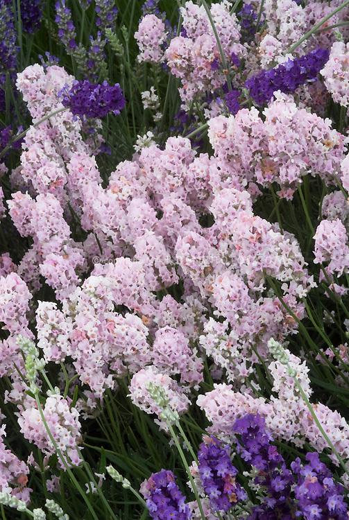 English Lavender Hidcote Pink