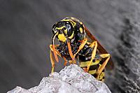 Gallische Feldwespe, Französische Feldwespe, beim Nestbau auf den Waben, Nest, Wespennest, Polistes dominulus, Polistes dominula, Polistes gallicus, Papierwespe, Vespinae, Faltenwespe, Vespidae, paper wasp, paper wasps, wasps' nest, vespiary