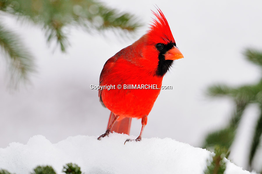 00132-001.18 Northern Cardinal male is perched on snow covered spruce tree during winter.  Red, color, songbird, birding.