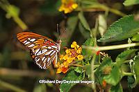 03305-00320 Gulf Fritillary butterfly (Agraulis vanillae) on Lantana (Lantana sp.) NABA Butterfly Park, Mission, TX