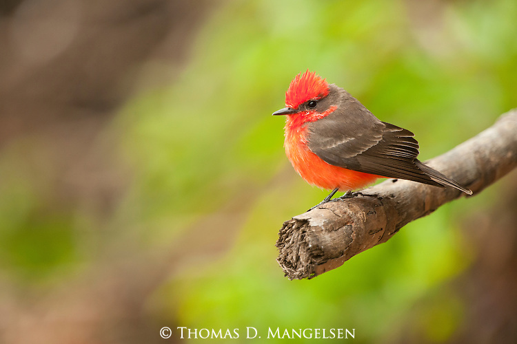 A vermillion flycatcher perches on a stick in the Pantanal, Mato Grosso, Brazil.