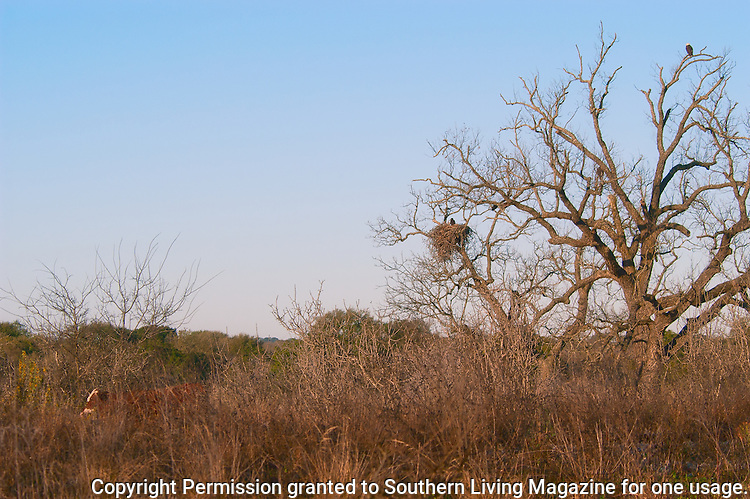 Calf walks through pasture where Llano Bald Ealge Nest is located.