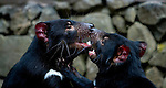Captive Tasmanian Devils play fighting  at Tasmanian Devil Conservation Park, near Taranna, Tasmania, Australia.....Most of the devils I photographed over the last week were either recovering from injuries, or orphans, seperated from parents suffering from the Tasmanian Devil Facial Tumor Disease, which is a contagious cancer.