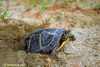 1R13-048b  Painted Turtle - adult laying eggs in sand - Chrysemys picta