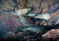 RK0062-D. Galapagos Sea Lions (Zalophus wollebaeki), young ones playing with each other. Galapagos Islands, Ecuador, Pacific Ocean.<br /> Photo Copyright &copy; Brandon Cole. All rights reserved worldwide.  www.brandoncole.com