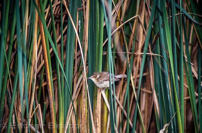 Clamourous Reed Warbler (Acrocephalus stentoreus) evening. Brown's Lagoon Reserve, Albury, NSW