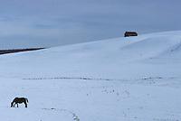 Europe/France/Auvergne/15/Cantal/Plateau d'Allanche: Buron sous la neige - cheval et buron