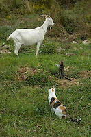 Two cats sneak to a goat