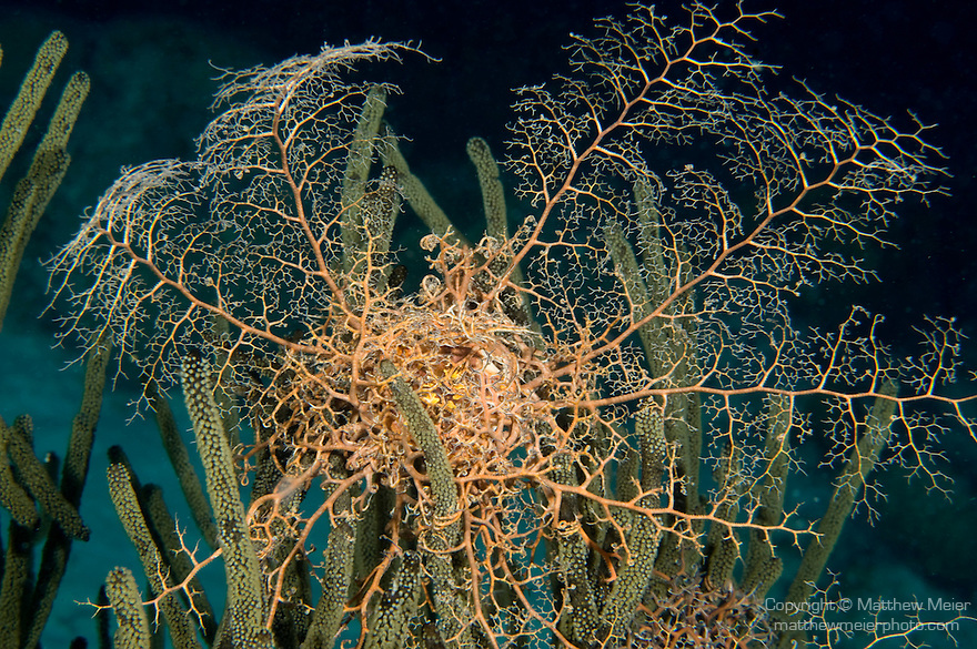 Bonaire, Netherlands Antilles; a Caribbean Basket Star (Astrophyton muricatum) opens up it's branches at night to collect food, these nocturnal feeders wrap themselves into a tangled ball during the day , Copyright © Matthew Meier, matthewmeierphoto.com All Rights Reserved