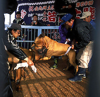 Tosa dogs are pulled apart by the trainers during a bout of dog fighting in Nagasaki, Japan. The animals often get locked together and stuck at which point the trainers leap into the ring to intervene..