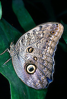 MOTHS AND BUTTERFLIES<br /> Owl Butterfly (Caligo)<br /> Some butterflies flash eyespots on their wings to startle predators suggesting a larger animal. A form of mimicry.