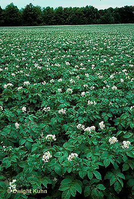 HS05-027c   Potato - field of potato plants in flower