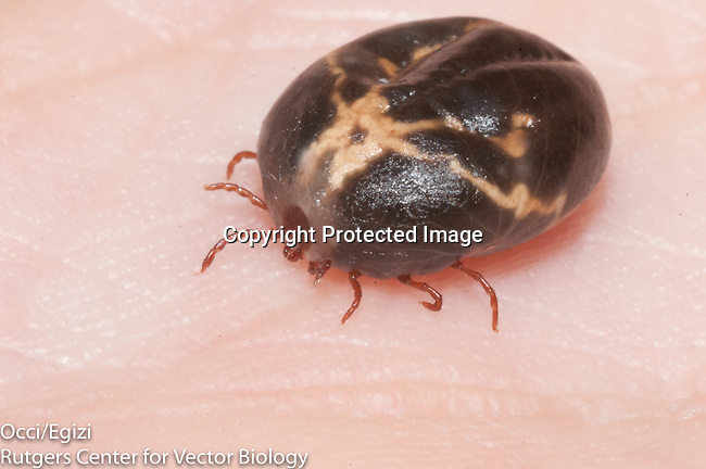 engored female Haemaphysalis longicornis, longhorned tick
