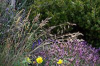 Festuca california, fescue grass with lavender in front of manzanita shrub in Sibley drought tolerant front yard garden, Richmond California