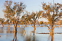 Australia, South Australia;  trees in flooded Cooper Creek after heavy rains in Queensland