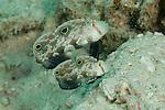 Twinspot Gobies (Signigobius biocellatus). North Raja Ampat, West Papua, Indonesia