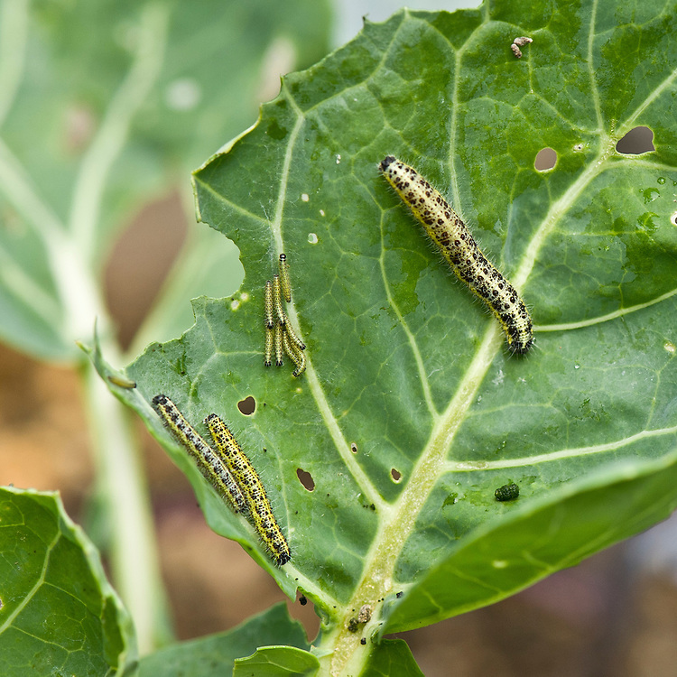 Caterpillars of large cabbage white butterfly (Pieris brassicae) feeding on brassica leaves, late August.