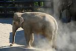 asian elephant taking dust bath