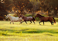 Mares trot across open pasture...