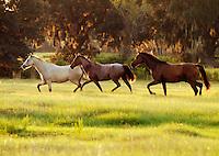 Mares trot across open pasture...