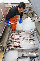 Commercial fisherman Bill Webber packs his processed at sea salmon in ice during a 12 hour sockeye and king salmon opener on the Copper River Delta, southcentral, Alaska.