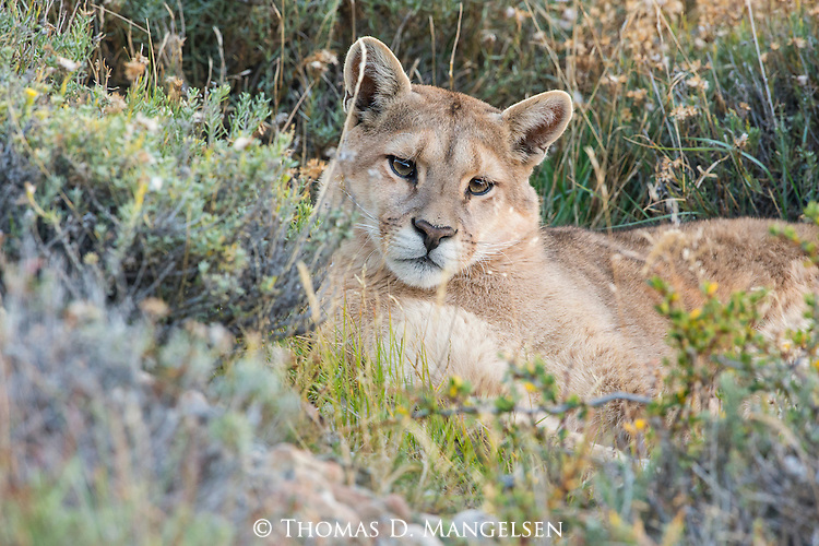 A Puma looks rests amongst the brush in Patagonia, Chile.