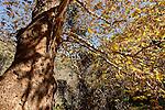 Israel, the Upper Galilee. Plane tree (Platanus Orientalis) in Wadi Betzet