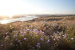 Hanford Reach National Monument, Wahluke Slope, Columbia River, phlox, wildflowers,  shrub steppe habitat, grassland, Columbia Basin, eastern Washington, Washington State, Pacific Northwest, USA, North America,
