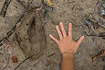 Southern Cassowary  claw with a hand as scale. Southern Cassowary claw (Casuarius casuarius). A cassowary's three-toed feet have sharp claws. The second toe, the inner one in the medial position, sports a dagger-like claw that is 125 millimetres (5 in) long.[9] This claw is particularly fearsome since cassowaries sometimes kick humans and animals with their enormously powerful legs (see Cassowary Attacks, below). Cassowaries can run up to 50 km/h (31 mph) through the dense forest. They can jump up to 1.5 metres (4.9 ft) and they are good swimmers, crossing wide rivers and swimming in the sea as well.