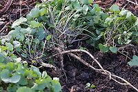 Gewöhnliche Knoblauchsrauke, Ernte, ernten, Kräuterernte, Wurzelernte, Wurzel, Wurzeln, Knoblauchsrauken-Wurzeln, Knoblauchsrauken-Wurzel, Knoblauchsraukenwurzeln, Knoblauchrauke, Knoblauch-Rauke, Knoblauchs-Rauke, Lauchkraut, Alliaria petiolata, Hedge Garlic, Jack-by-the-Hedge, root, roots, Alliaire