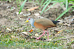 Grey Necked Wood Rail, Aramides cajaneus, Panama, Central America, Parque Nacional Soberania, on Panama Canal river bank