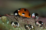 7 Spot Ladybird, coccinella septempunctata, adult on leaf with water droplets, seven, red with black spots, rain.United Kingdom....