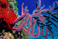 bent sea rods or sea rod gorgonian, Plexaura flexuosa, a gorgonian octocoral or soft coral, Bahamas, Caribbean Sea, Atlantic Ocean