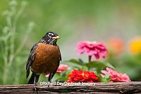 01382-05011 American Robin (Turdus migratorius) on fence near flower garden, Marion Co., IL