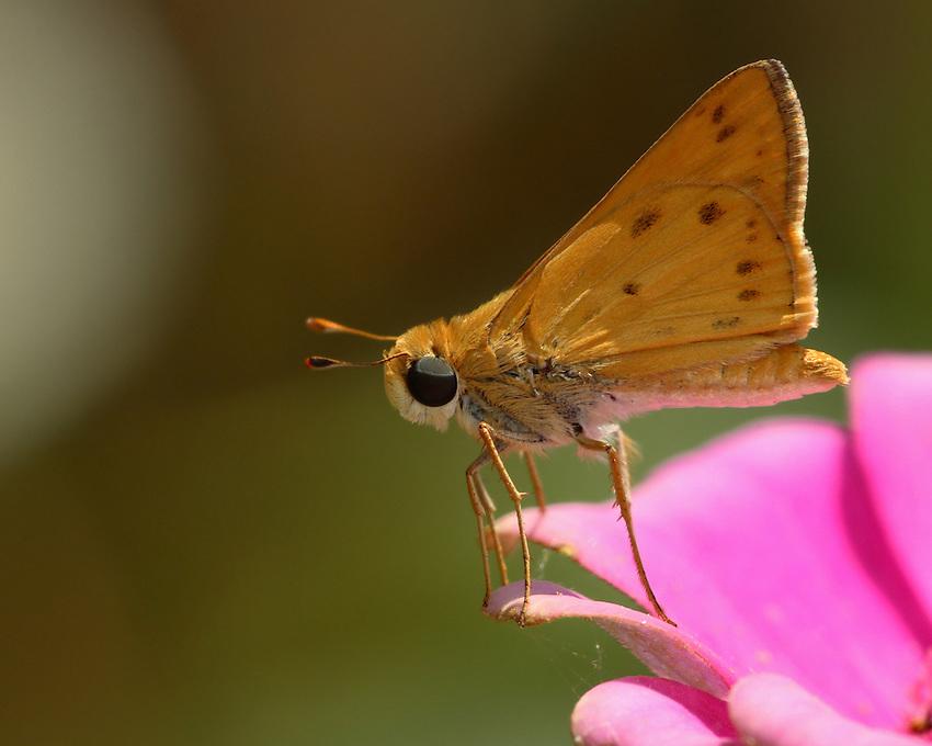 Fiery Skipper (Hylephila phyleus)