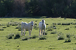 white horses in Coleville