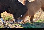 Llama Courtship Ritual, The Strength Test, Loa, Utah