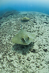 A pair of Cowtail Stingrays, Pastinachus sephen, Yap, Micronesia, Pacific Ocean
