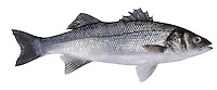 European Sea Bass Dicentrarchus labrax Length to 100cm<br /> Fast-swimming, streamlined predator and a popular sport fish. Often occurs close inshore. Adult is silvery-grey overall, darkest on dorsal surface, almost white on belly. Has 2 dorsal fins; 1st is spiny. Widespread but locally common only in S Britain.