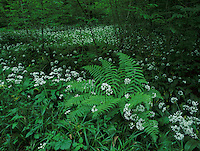 Bear's Garlic, Allium ursinum, blooming on forest floor, Zug, Switzerland