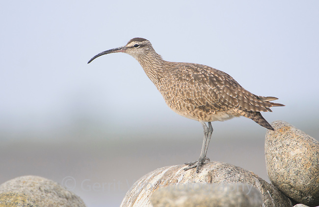 Whimbrel (Numenius phaeopus). Monterey County, California. November.