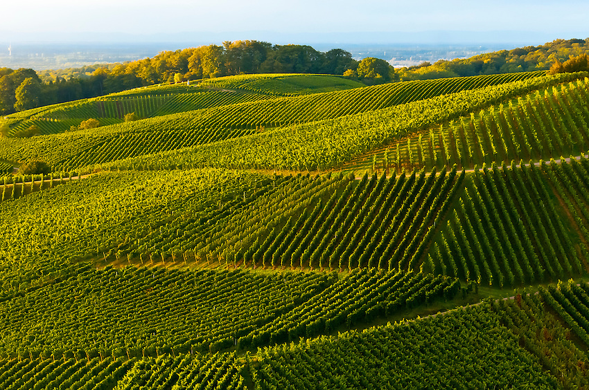 Vineyards at sunset, Offenburg, Baden-Württemberg, Germany