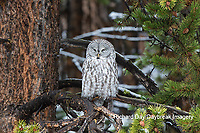 01128-00116 Great Gray Owl (Strix nebulosa) Yellowstone National Park, WY