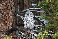 01128-00116 Great Gray Owl (Strix nebulosa) Yellowstone National Park, WY