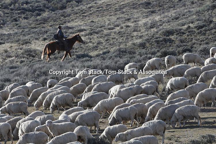 Sheep herding in Wyoming
