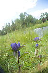 Fringe-tip Closed (Bottle) Gentian; Gentiana andrewsii