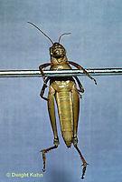 GF07-001a  Funny Grasshopper - doing chin-ups
