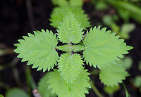 Close-up of a stinging nettle with water drops, Chipping, Lancashire.