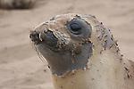 Molting elephant seal