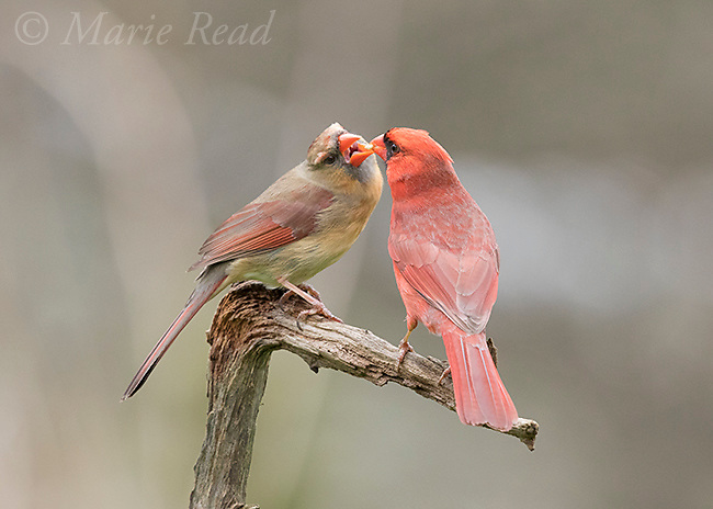 "Northern Cardinal (Cardinalis cardinalis), pair, male (right) feeding the female as part of courtship/pair formation, termed ""allofeeding"", New York, USA"